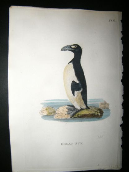Shaw C1800's Antique Hand Col Bird Print. Great Auk (Extinct)